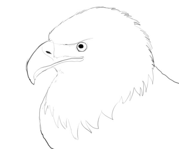 Bald eagle drawings adding finest detail