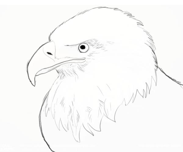 Small Eagle Drawing Bald-eagle-drawings-6